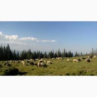 Продам вівці і ягнята