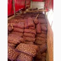 Продам насіннєву картоплю, сорт Скарб і Біла роса