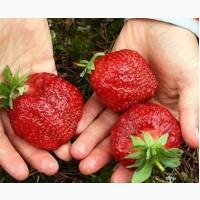 Продам розсаду полуниці