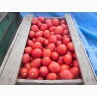 Продам помидор полевой