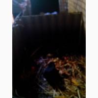 Продам нутрий ризного колиру и вику живий вес