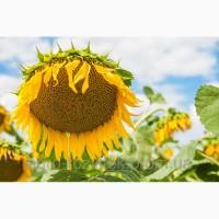 Гранд Адмірал SU насіння соняшнику (50г/гранстару)/висока якість