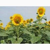 Рими насіння соняшнику під євро-лайтнінг