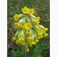 Куплю цвіт Первоцвіту весняного (примула)