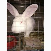 Продам кроликов пород Фландер и Белый Паннон