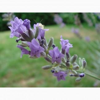 Продам лаванду оптом (не сушену) як квітку