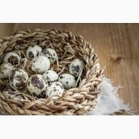 Перепелині столові яйця продам