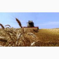 Купляємо пшеницю. Заберемо з поля