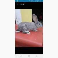 Кролики Шиншила