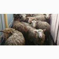 Продам овец