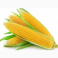 Насіння гібридів кукурудзи Monsanto