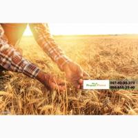 Семена озимой пшеницы Шестопаловка, (элита ) урожай 2021 г