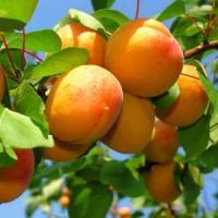 Продам саджанці абрикоса ОПТ