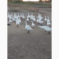 Продам мясо домашних молодых гусей