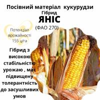Яніс - найврожайніший гібрид кукурудзи