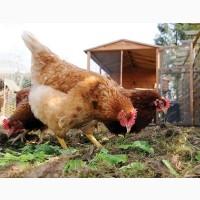 Реализуем инкубационные яйца пород Ломан браун