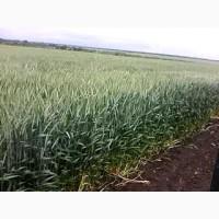 Продам высокоурожайные семена озимого тритикале Ярослава (элита 2021 ) цена договорная