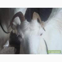 Горьковскую козу продам