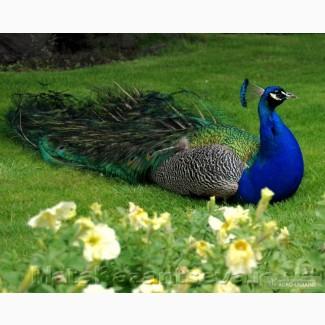 Продам павліни, фазани, цесарки, декоративні голуби, кури, утки (різних видів) !