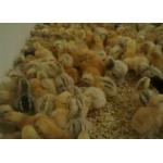 Цыплята суточные и подрощенные Редбро (Redbro)