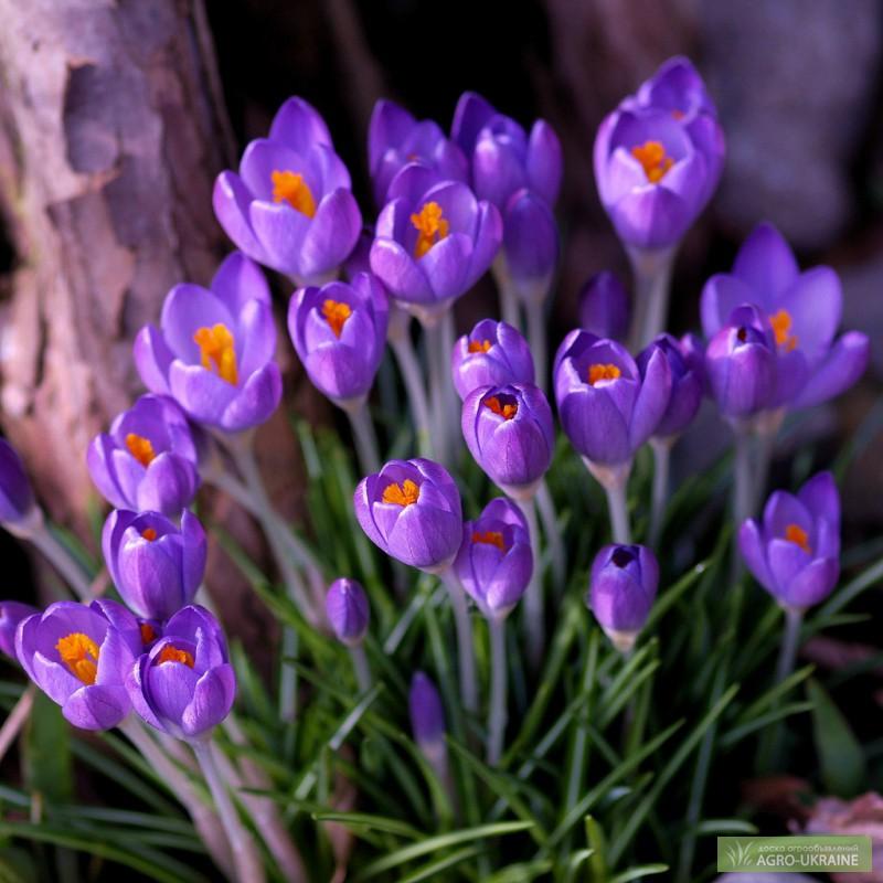 Гиацинт  домашний и садовый цветок Выращивание и уход