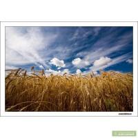 Куплю пшеницу1-6 класс