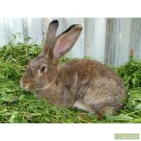 Кролики крупные (метисы)