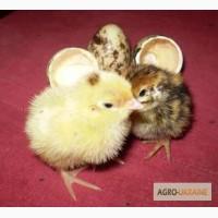 Інкубаційне яйце перепілок