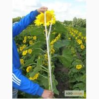 Продам насіння соняшника Рембо