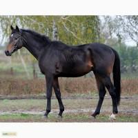 Продам коней англійської чистокровної верхової породи