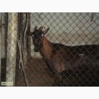 Продам козу Альпийской породы