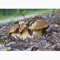 Грибница белого гриба - семена грибов для выращивания на приусадебном участке и помещении