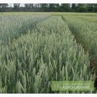 Семена пшеницы, гороха, гречки