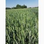 Продам насіння пшениці Леннокс.Дворучка. Зимоярка