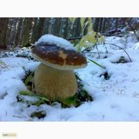 Продам свіжозбирані білі гриби