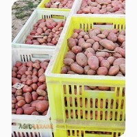 Насіннева картопля від виробника. Відправляємо поштою