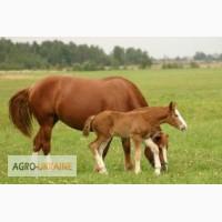 Куплю лошадей от 4 до 9 лет в холке то 160 до 180 см не обязательно породистых