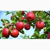 Продам яблоки (Гала)