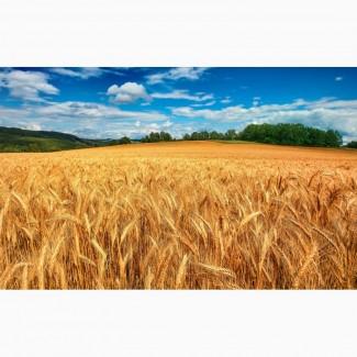Закупаем пшеницу фуражную, продоволку