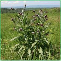 Продам семена Чернокорня лекарственного