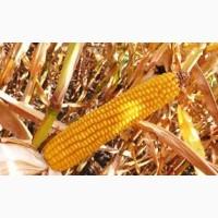 Солонянский298СВ гибрид кукурузы продам