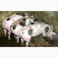 Свині від 100 кг і більше