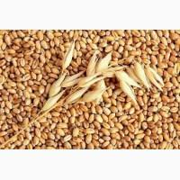Закупаем пшеницу 1- 6 класс Самовивоз