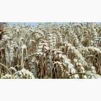 Продам Озиму Пшеницю БОГЕМІЮ(СЕЛГЕН ЧЕХІЯ) 1-репродукція 2018