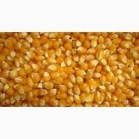 Кормовая кукуруза на экспорт