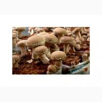 Продам свежесрезанные и сушёные грибы шиитаке