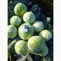 Продам капусту Агрессор от 2 до 3, 5 кг. без порши и трипса. есть капуста для переработки