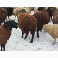 Ярки, овцематки курдючные