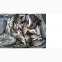 Продам зарибок коропа - ДВУХРІЧКА 200-300 грам за ціною 45 гривень за кілограм