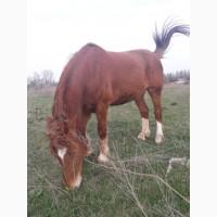 Продам коня великої породи